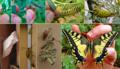 Mariposa Papilio machaon ciclo vital.png
