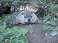 Marmot at Saint Helen's Island in Montreal 02.jpg