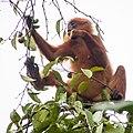 Maroon (or Red) Leaf Monkey (13997653457).jpg