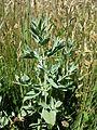 Marrubium peregrinum sl17.jpg