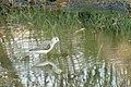 Marsh sandpiper001.jpg
