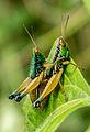 Mating grasshoppers at Mangunan Orchard, Dlingo, Bantul, Yogyakarta 03.jpg