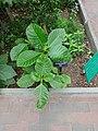 Medicinal Plants - US Botanic Gardens 18.jpg