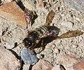 Megachile Chalicodoma species (32664755046).jpg