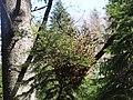 Melampsorella caryophyllacearum G41 (1).jpg
