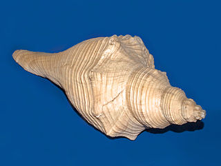 <i>Hemifusus ternatanus</i> species of mollusc