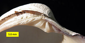 Veneridae - Left valve dentition of the shell of the venerid Mercenaria mercenaria