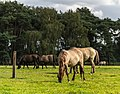 Merfeld, Merfelder Bruch, Dülmener Wildpferde -- 2012 -- 7770.jpg