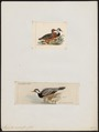 Merganetta armata - 1700-1880 - Print - Iconographia Zoologica - Special Collections University of Amsterdam - UBA01 IZ17700183.tif
