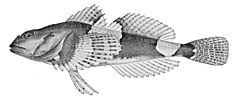 Microcottus sellaris.jpg