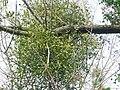Mistletoe - geograph.org.uk - 1085912.jpg