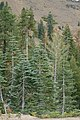 Mixed Shasta coniferous forest.jpg