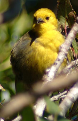 Yellowhead (bird) - Yellowhead or mohua