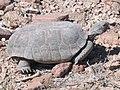 Mojave Desert Tortoise (Gopherus agassizii) (6012501624).jpg