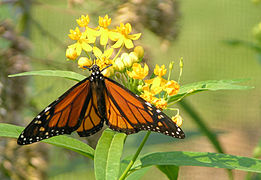 Monarch Butterfly Danaus plexippus Butterfly Weed 1650px.jpg