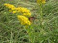 Monarch butterfly on goldenrod plant flower.jpg