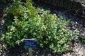 Monarda fistulosa botanical garden T.U.Delft in 2015 47.jpg