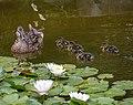 More Baby Ducks (48374693007).jpg