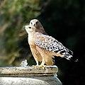 More hawks (37299325831).jpg