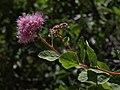 Mountain spiraea, Spiraea splendens (15832691404).jpg