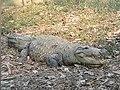 Mugger crocodile1.jpg