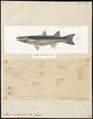 Mugil corsula - 1700-1880 - Print - Iconographia Zoologica - Special Collections University of Amsterdam - UBA01 IZ13800063.tif