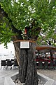 Mulberry tree in the center of Crikvenica Croatia.jpg
