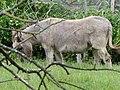 Mule poitevine en Mayenne (3).jpg