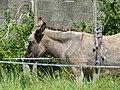Mule poitevine en Mayenne (4).jpg