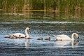 Mute Swan Family (17413272686).jpg