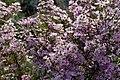 Myrtenaster Pink Star (Aster ericoides) Blumengärten Hirschstetten Wien 2014 a.jpg