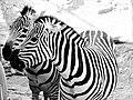 N2 zebra.jpg