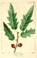 NAS-018f Quercus × heterophylla.png