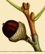 NAS-023f Quercus falcata acorn.png