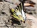 NE Pa Fivebar Swordtail 11 April 2008 Namdapha UP (2504946888).jpg