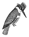 NSRW Belted Kingfisher.png
