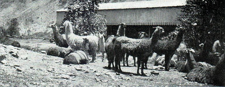 NSRW Story of Wool - llamas in Peru.jpg