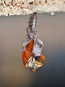 Resultado de imagen para pupa de mariposa