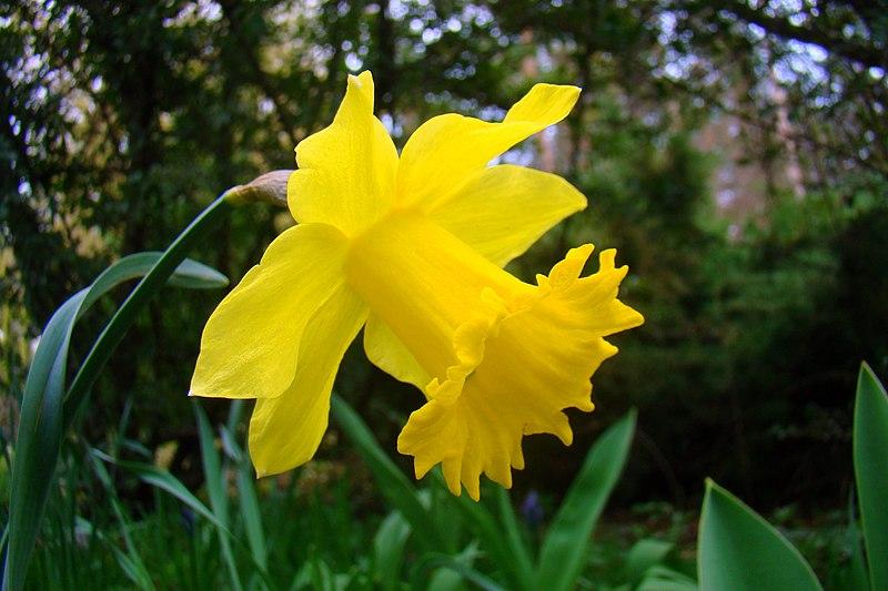 Ficheiro:Narcissus pseudonarcissus (S.lukas).JPG