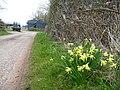 Narcissus pseudonarcissus - geograph.org.uk - 739193.jpg