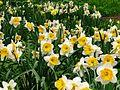 Narcissus trumpet cv. 03.jpg