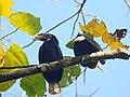 Narcondam Hornbill DSCN2147 05.jpg