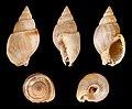 Nassarius dorsatus 01.JPG