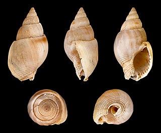 <i>Nassarius dorsatus</i> Species of gastropod