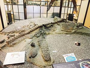 Futabasaurus - Cast of fossils of Futabasaurus suzukii exhibited at the National Museum of Nature and Science