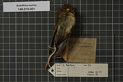 Naturalis Biodiversity Center - RMNH.AVES.135713 2 - Acanthiza murina (De Vis, 1897) - Acanthizidae - bird skin specimen.jpeg