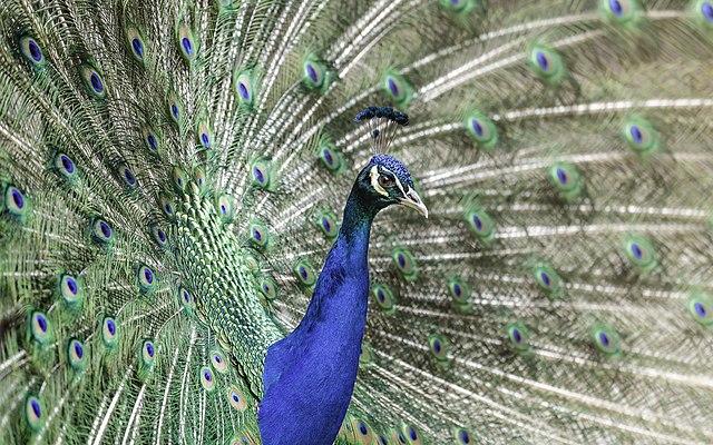 Vem vågar påstå att en påfågel inte bryr sig om sitt utseende?