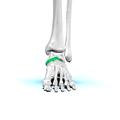 Navicular bone09.png