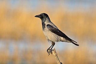 Vrana popolavá (Corvus cornix)