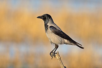 Hooded crow - Bodden, Baltic Sea, Germany